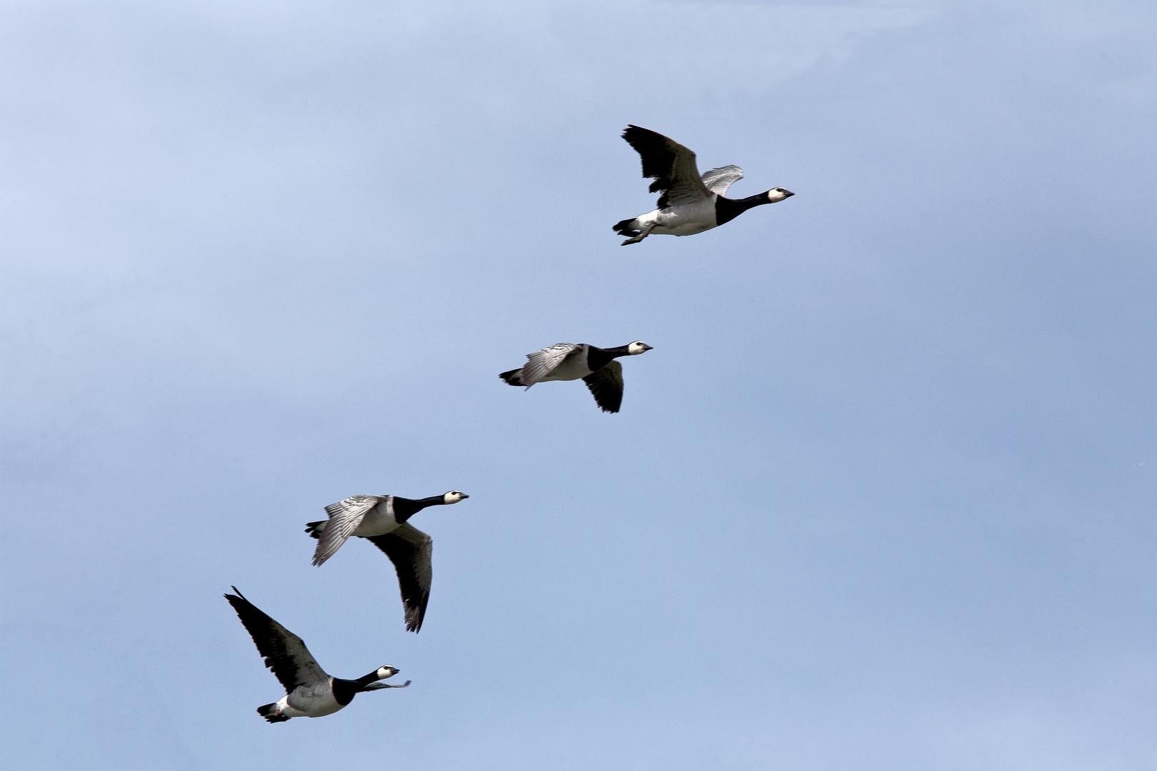 Voler les oies sauvages, elles s'en allaient dans le midi......