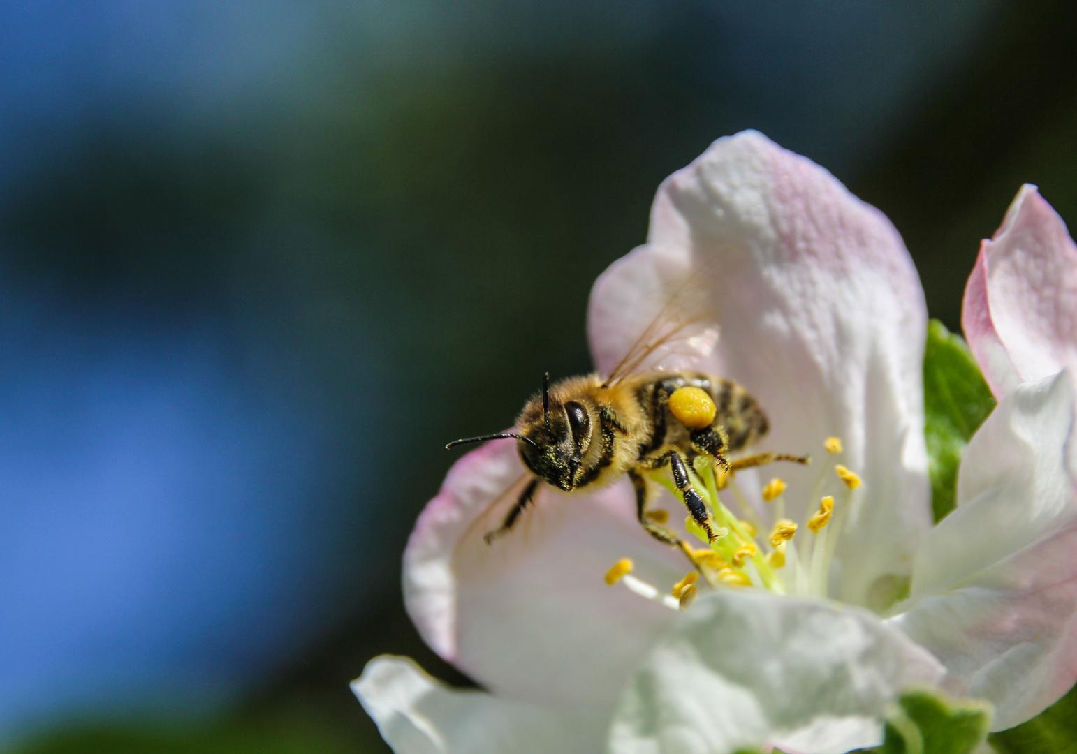 Voll beladen Richtung Bienenstock