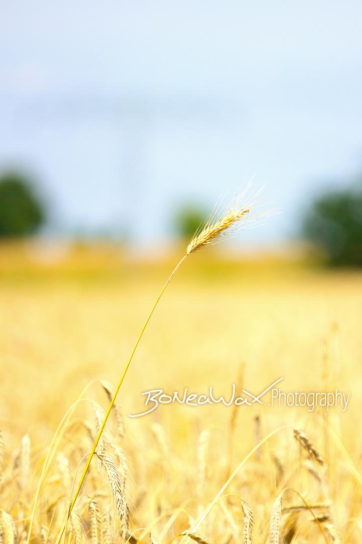 voll im Korn