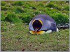 Voller Pinguin