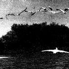 volo di pellicani