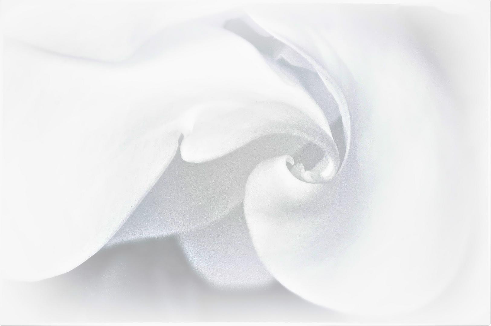volutes  blanches de magnolia ...