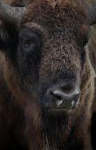 vom bison...