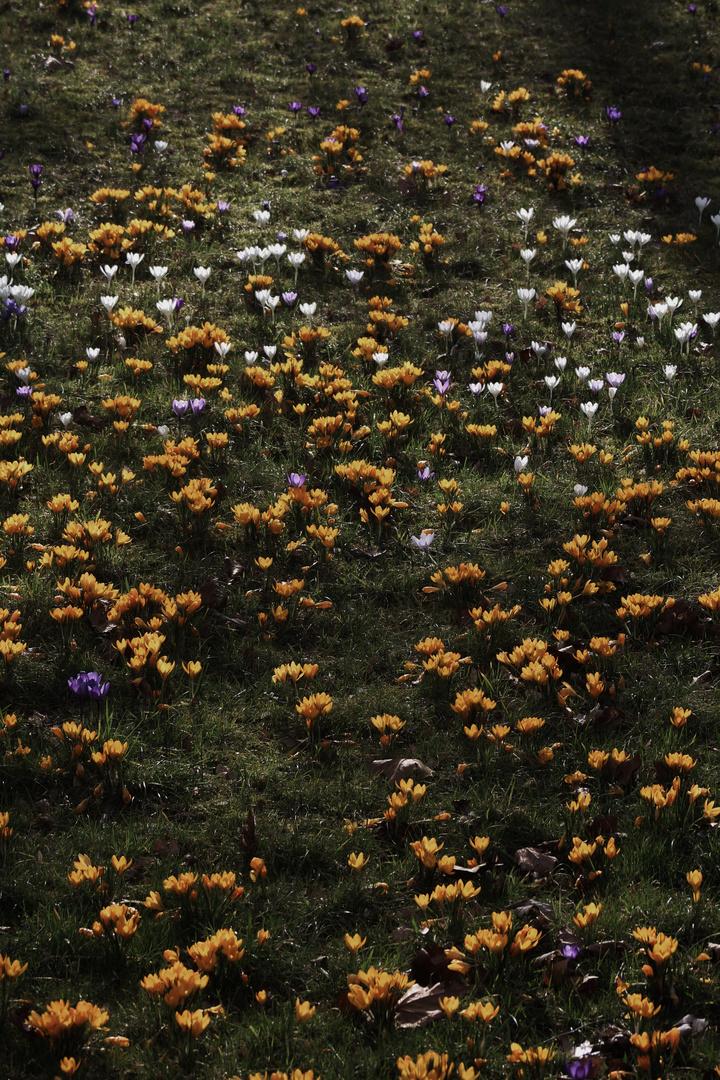 vom  Blütenteppich im März