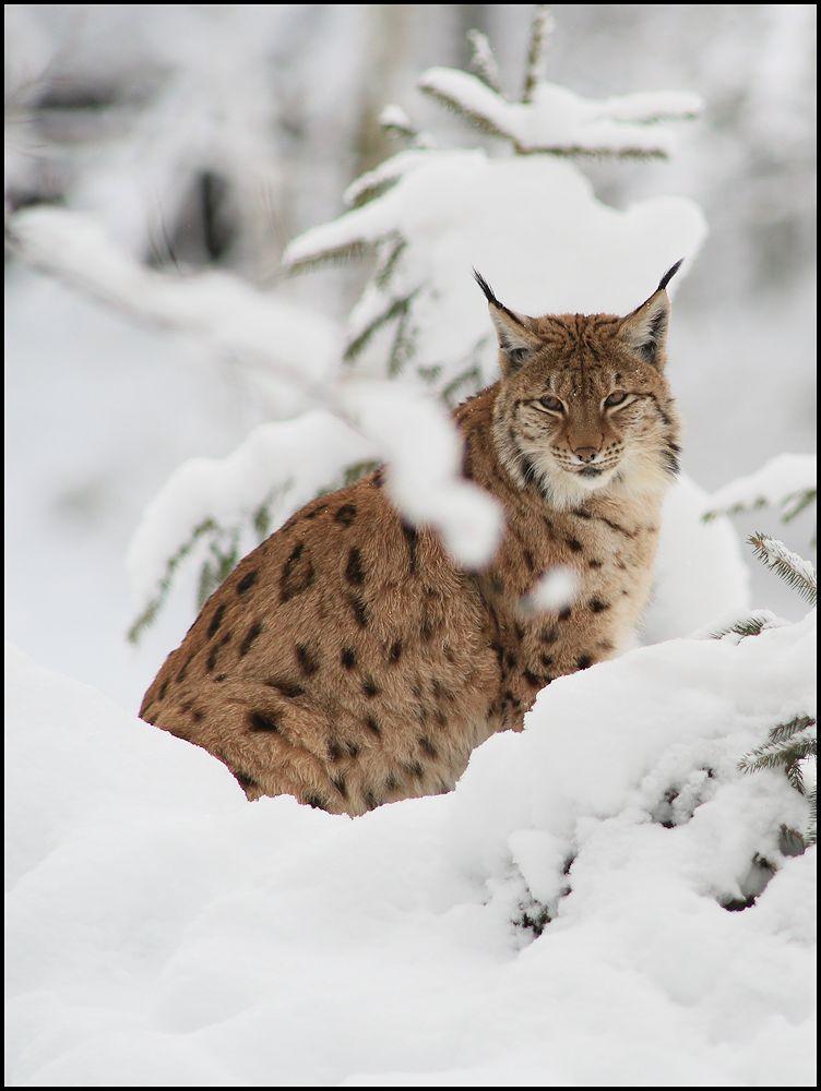 vom luchs im winter(II)...