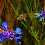 Von Blume zu Blume - ein fleißiges Bienchen