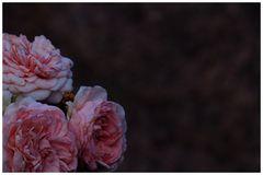 Von den duftenden Rosen,...