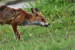 Von der mageren Fuchsfähe ...