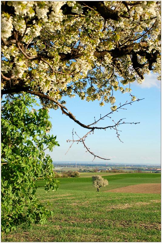 Von Kirschenbaum zu Kirschenbaum....