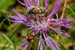Von nah besehen :: Biene 2