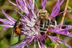 Von nah besehen :: Biene 3
