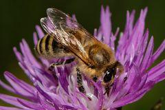 Von nah besehen :: Biene 4