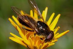 Von nah besehen :: Biene