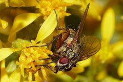 Von nah besehen :: Fliege