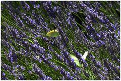 von Orange nach Anduze - Fotostop am Lavendelfeld