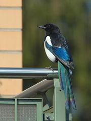 Von wegen schwarz-weisser Vogel!