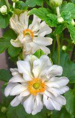 von weißen  Blüten die sich dem Licht entgegen recken nach dem Regen