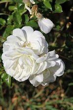 von weißen Rosen....