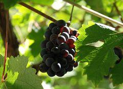 Vor der Weinlese # Antes de la cosecha