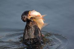 Voracious cormorant