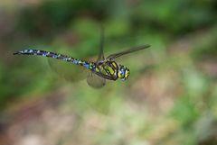 Vorbeiflug einer Blaugrünen Mosaikjungfer