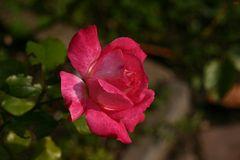vorerst letzte Rose