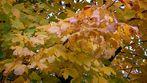 vorm Abwerfen der Blätter gelb