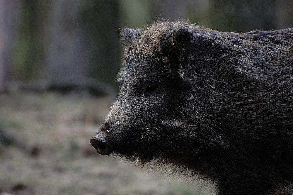 Vorsicht Wildschwein