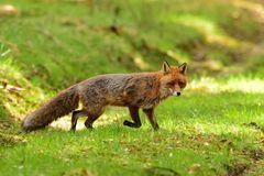 Vorsichtig schnürt der Fuchs über den Waldweg