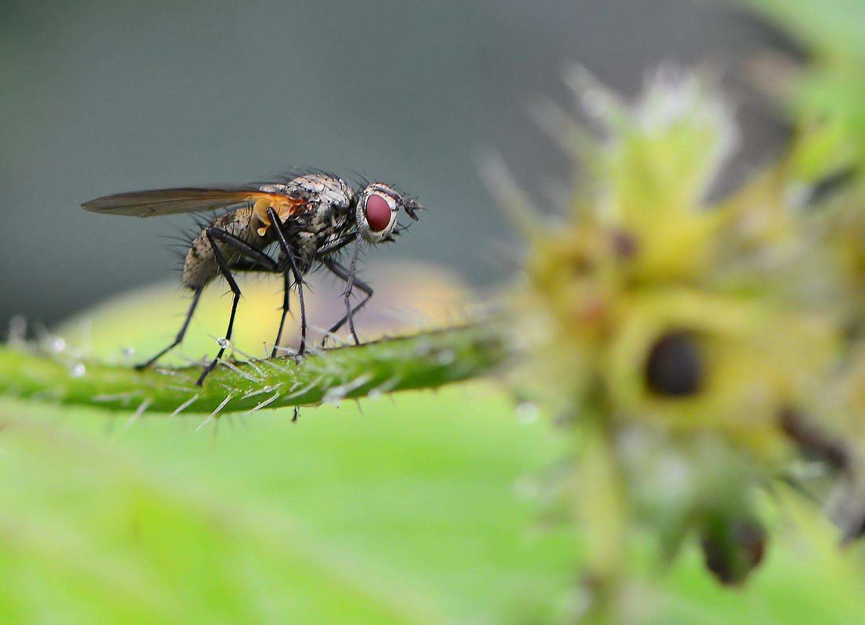 Vorsteher-Fliege