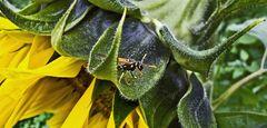 Vorwitzige Wespe auf Sonnenblume