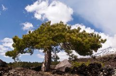 Vulkan Ätna mit Märchenbaum - Sizilien - Südhang bei Nicolosi