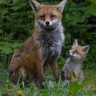 Vulpes vulpes - Fuchs mit  Fuchswelpe