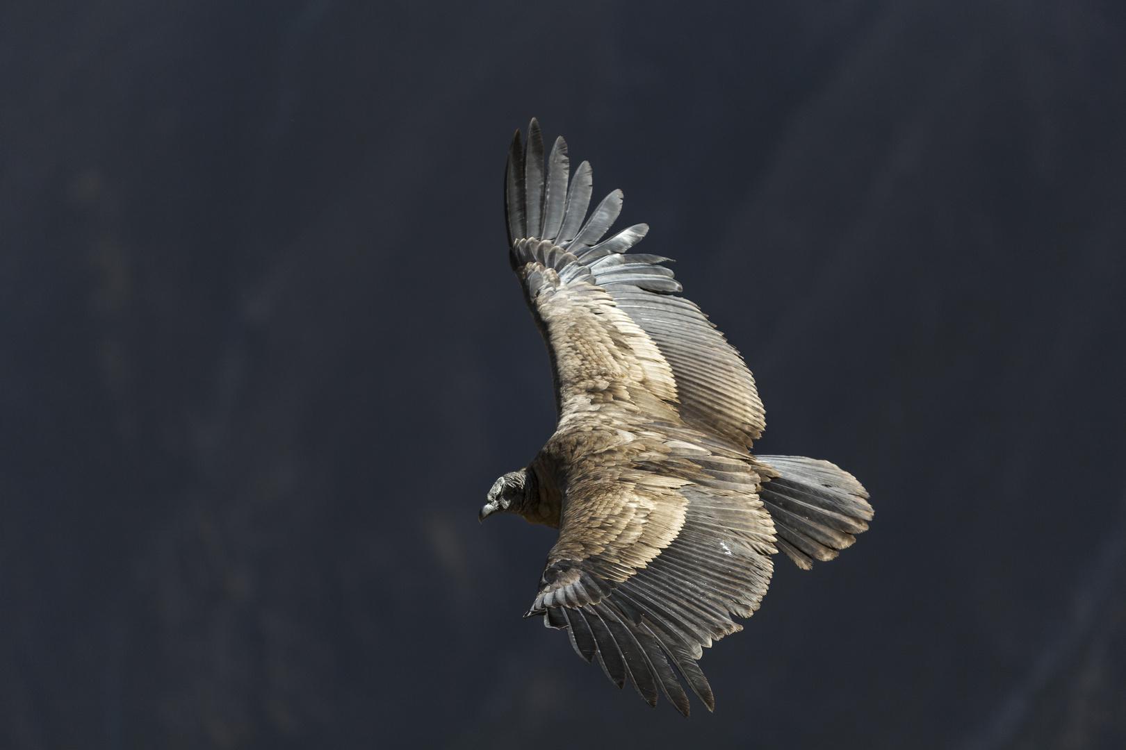 Vultur gryphus 2