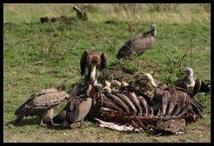 ... Vultures, Massai Mara, Kenya ...