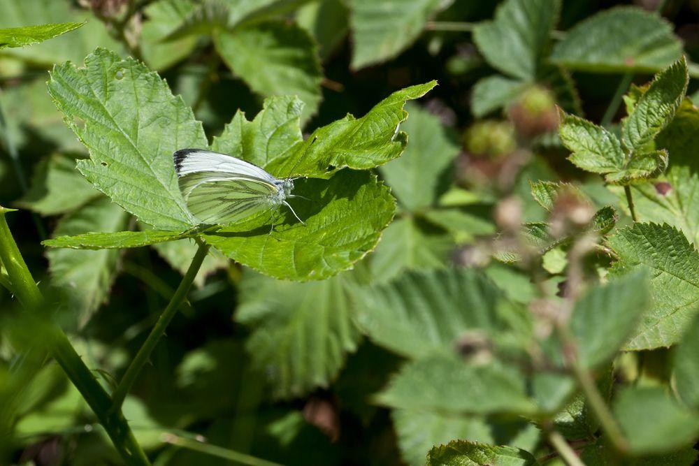 w. Schmetterling