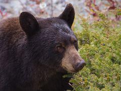 Wacholder-Bär