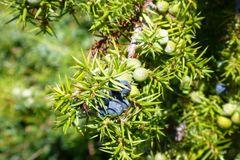 Wacholder mit einjährigen grünen und 2 jährigen reifen Beeren