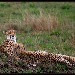 Wachsam wie ein ? Gepard ?