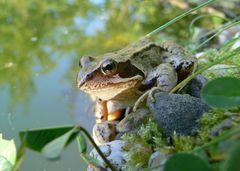 wachsamer Frosch