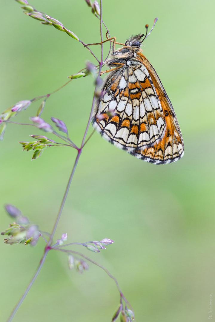 Wachtelweizen-Scheckenfalter - Melitaea athalia