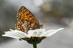 Wachtelweizen-Scheckenfalter (Melitaea athalia)*! - Les papillons profitent de l'été!