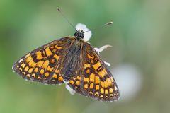 Wachtelweizen-Scheckenfalter (Melitaea athalia)* - Une petite beauté qui papillonne vers le ciel...