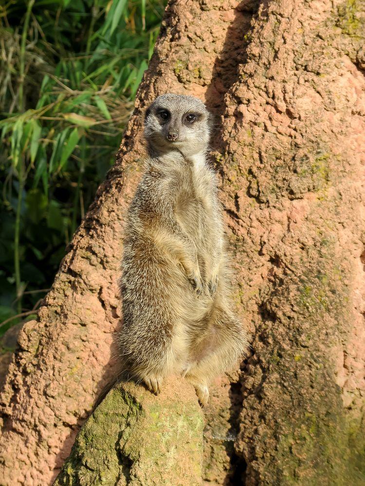 Wächter - Erdmännchen im Zoo Hannover