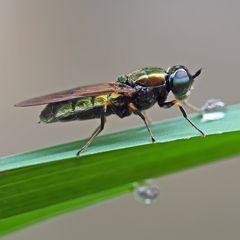 Waffenfliege, Weibchen (Chloromyia formosa, (Stratiomyidae)