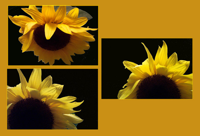 Wahrscheinlich meine letzte Sonnenblume ...