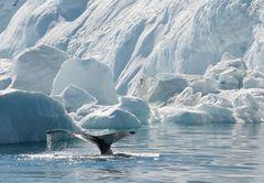 Wal bei der Arbeit, Grönland