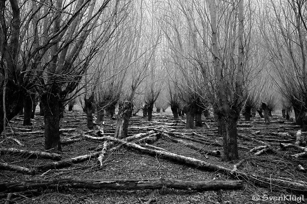 Wald bei Erfelden - Kühkopf I