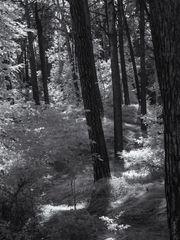 Wald bei Zinnowitz