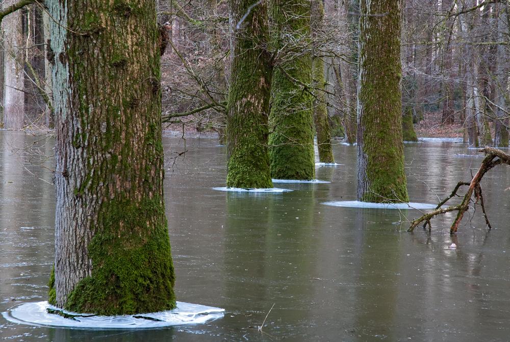 Wald im Eis